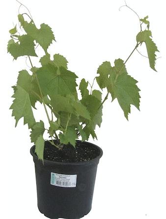 Виноград, C1,5-2 л