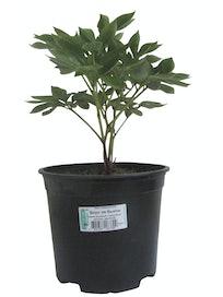 Пион травянистый, C3
