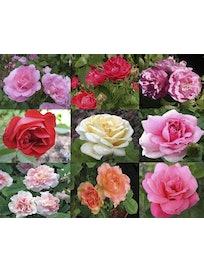 Роза канадская в ассортименте, C3