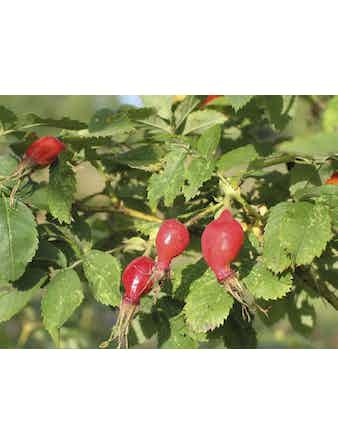Шиповник плодовый, C2-3 л