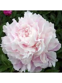 Саженец Пион травянистый Розовое облако