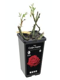 Роза плетистая, микс, 2 л