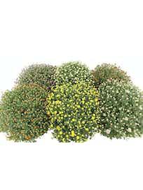 Хризантема Ясода микс, D19, H40