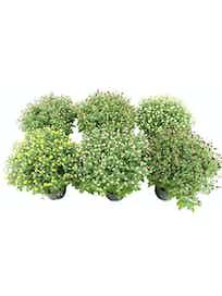 Хризантема мультифлора, 15 см, желтая