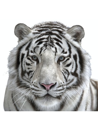 Фотообои DECOCODE белый тигр 31-0006-NB винил на флизелине 2,8x3м