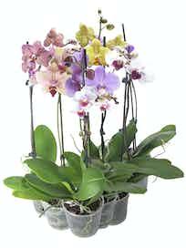Орхидея Фаленопсис микс d12, h70