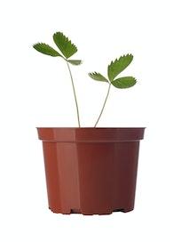 Саженец Земляника, 2-4 листа, 9 см