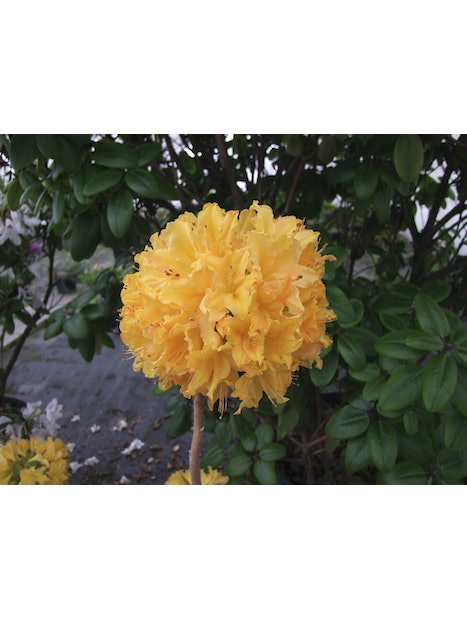 REVONTULIATSALEA GOLDEN LIGHTS RHODODENDRONXGOLDEN LIGHTS 3L