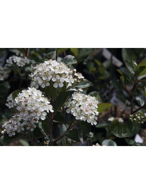 KORISTEARONIA Aronia x prunifolia