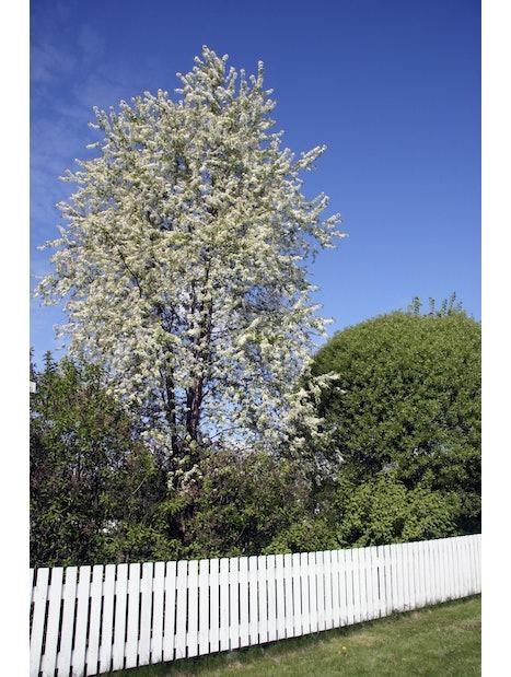 PILVIKIRSIKKA 150-200 Prunus 'PENSYLVANICA'
