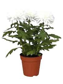 Хризантема Зембла, белая, d13