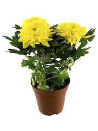 Хризантема Зембла, желтая, d13