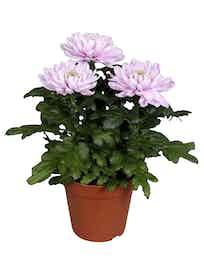 Хризантема Зембла, розовая, d13