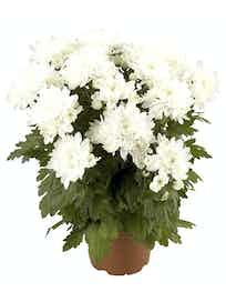 Хризантема кустовая, белая, d14