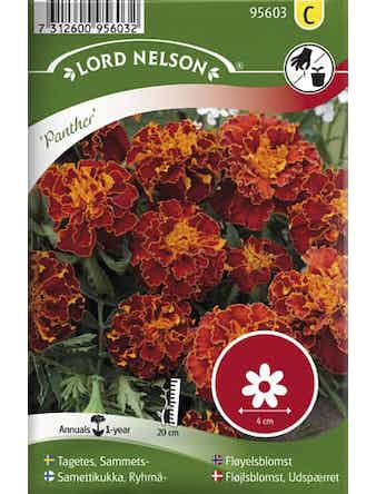 Tagetes Lord Nelson Sammets-Panther