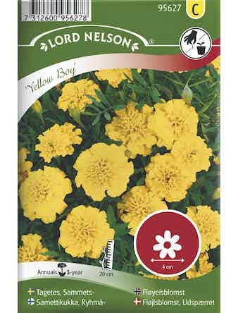 Tagetes Lord Nelson Sammets Yellow Boy