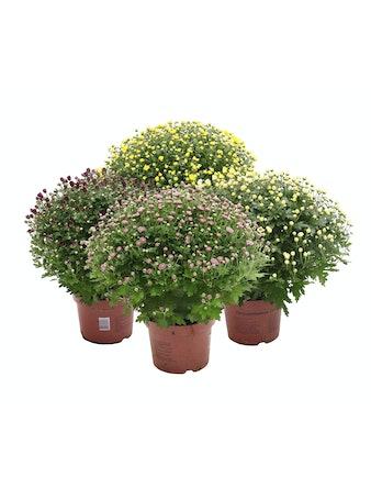Bollkrysanthemum