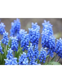 HELMILILJA MUSCARI BLUE MAGIC RUUKKU 12CM