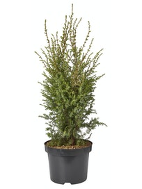 PILARIKATAJA JUNIPERUS SUECICA 5L AT