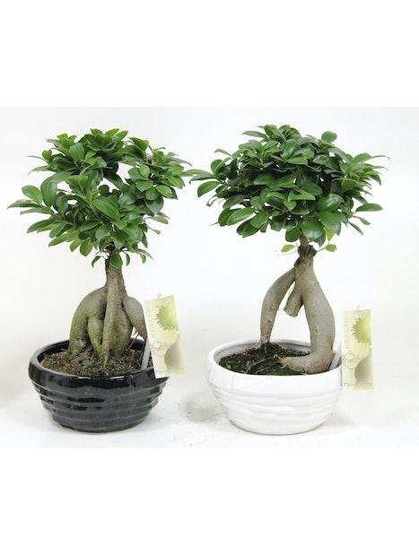 Bonsaipuu