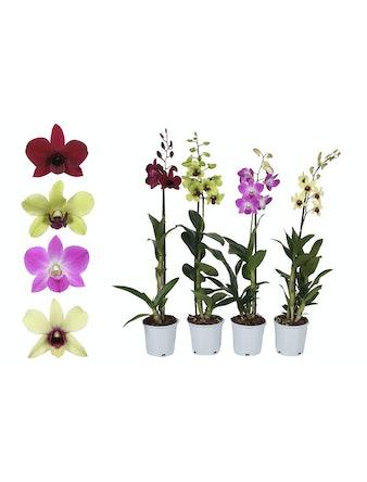 Orkidé Dendrobium Sa-Nook mix 1 stam