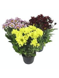 Хризантема микс, 3 растения, D12, H30