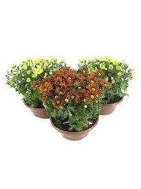Хризантема микс, 8 растений, D23, H30