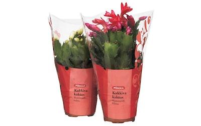 Pirkka kukkiva kaktus Tanska, kausituote