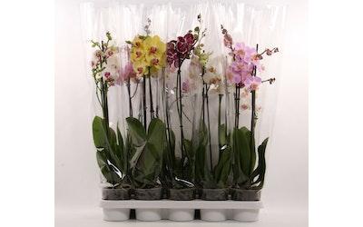 Orkidea 12 cm 2-vana värimix NL
